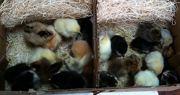 first-chickens-of-2013-post1-02