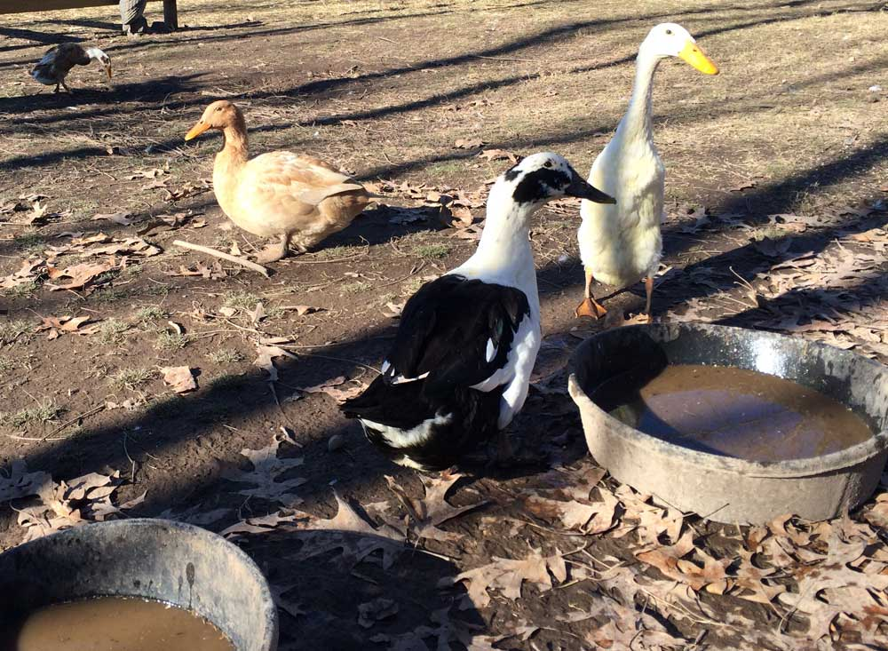 How to manage messy, muddy duck water