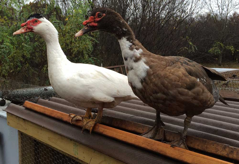 Muscovy drakes