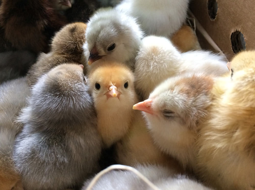 Fluffy baby chicks from Cackle Hatchery